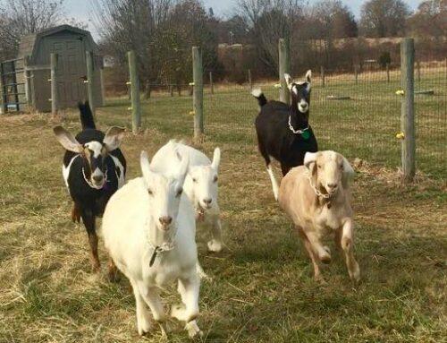 Split Creek Farm – Goats4Goodness